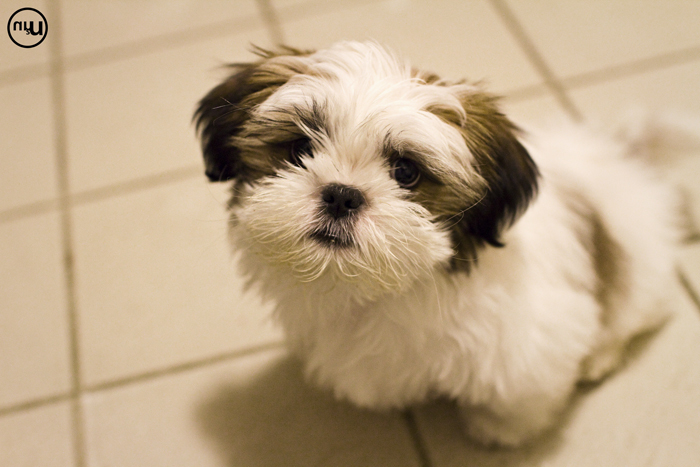 4 month old shih tzu meet finn unscene media 2317